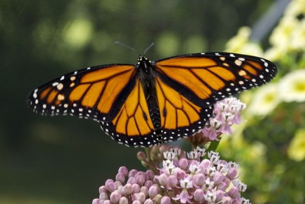 Monarch Butterfly - Mosquito Hill